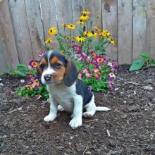 Beagle Puppies Image eClassifieds4U
