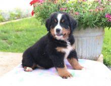 Bernese Mountain Puppies Image eClassifieds4U