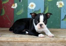 Boston Terrier Puppies Image eClassifieds4U