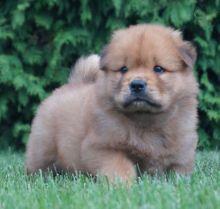 Chow Chow Puppies Image eClassifieds4U