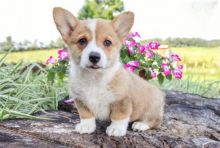 Corgi Puppies Image eClassifieds4U