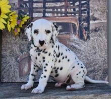 Dalmatian Puppies Image eClassifieds4U