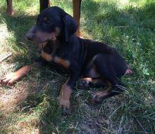 Doberman Pinscher Puppies Image eClassifieds4U