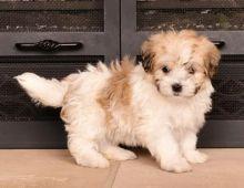 Havanese Puppies Image eClassifieds4U