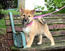 Shiba Inu Puppies Image eClassifieds4U
