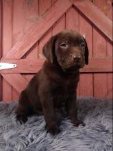 Chocolate Labrador Retriever Puppies