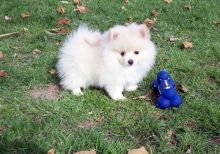 Pomeranian puppies ✔ ✔ ✔ Email at ⇛⇛ ( marcbradly1975@gmail.com )