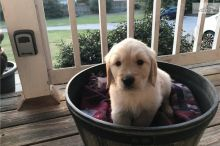 Adorable Golden Retriever Puppies for you. Image eClassifieds4U