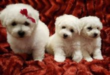 Bichon Frise puppies ✔ ✔ ✔ Email at ⇛⇛ ( marcbradly1975@gmail.com ) Image eClassifieds4u 3