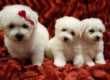Bichon Frise puppies ✔ ✔ ✔ Email at ⇛⇛ ( marcbradly1975@gmail.com ) Image eClassifieds4u 1