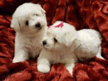 Bichon Frise puppies ✔ ✔ ✔ Email at ⇛⇛ ( marcbradly1975@gmail.com ) Image eClassifieds4u 2
