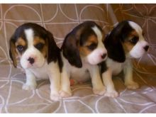 op quality beagle puppies available for adoption Image eClassifieds4U