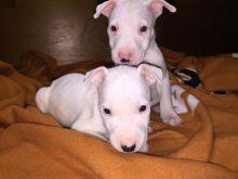 QUALITY BULL TERRIER PUPPIES Image eClassifieds4U