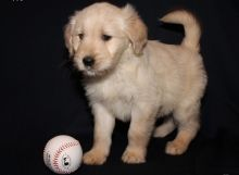 Beautiful Male and Female Golden Retriever Puppies//(204) 800-7927