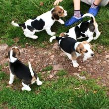 Beagle puppies available ✔ ✔ ✔ Email at ⇛⇛ ( marcbradly1975@gmail.com )