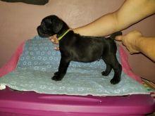 Cane Corso puppies!