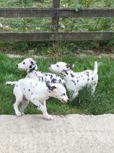 Dalmatian Pups