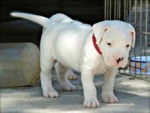 Dogo Argentino puppies for adoption
