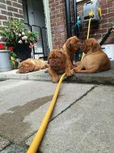 Dogue De Bordeaux puppies available