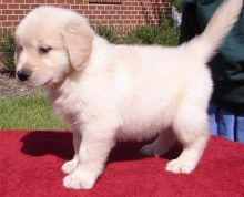 Golden Retriever puppies available ✔ ✔ ✔ Email at ⇛⇛ ( marcbradly1975@gmail.com )