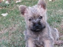 Lovely cairn terrier puppies