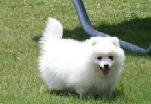 Adorable Japanese Splitz puppies.
