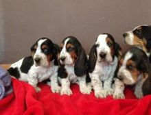 Amazing Male and female basset hound puppies for sale