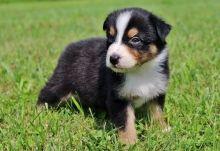 Australian Shepherd puppies looking for good family
