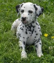 Awesome Dalmatian Puppies For Adoption