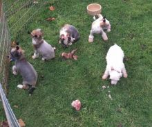 Beautiful Chinese Crested Pups Available Now