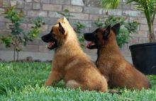 Belgian Shepherd Malinois Pups CKc Registered