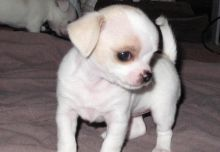 Chihuahua Long and Short Coat Chihuahua Puppies Litter trained and Ready to Go