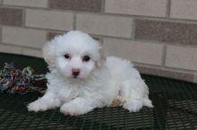 Cute Coton De Tulear Puppies