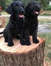 Labradoodle Puppies ready