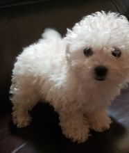 Male and female Bolognese puppies for sale