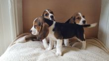 Pedigree Beagle Puppies ready to go now