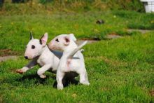 Stunning Litter Of English Bull Terrier puppies ready now