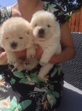 Sweet Chow Chow Puppies