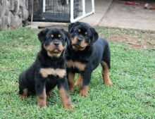 Well trained Rottweiler puppies for new homes//(431) 300-0043