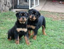Excellent Rottweiler Puppies Adoption---(431) 300-0043