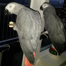 Pair of African grey Parrots Image eClassifieds4U