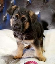 Quality German Shepherd puppies