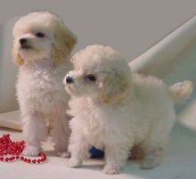 Adorable Toy Poodle Puppies for Re-Homing