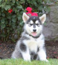 Affectionate Alaskan Malamute Puppies For Adoption