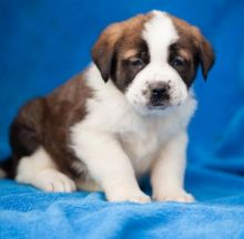 Astonishing Saint Bernard Puppies For Adoption