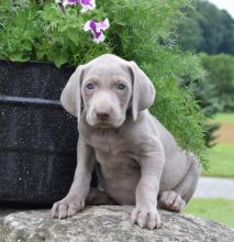 Astonishing Weimaraner Puppies for Adoption