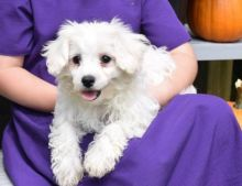 Charistmatic CKC Reg Maltipoo Puppies