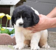 CKC registered Newfoundland puppies for Hood Homes