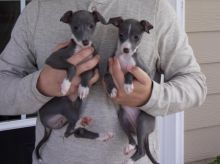 Energetic Italian Greyhound Puppies Available For Adoption