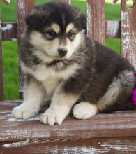 Gorgeous Alaskan Malamute Puppies For Adoption